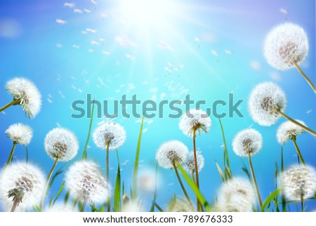 Airy dandelions glow in the sun on background blue sky close-up macro. Dandelion seeds fly in the wind. Nature floral template, spring summer wallpaper, soft focus