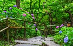 Ajisai flower (Hydrangea) blooming in spring and summer at botanic garden.