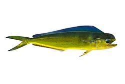 Aka Dorado dolphin fish mahi-mahi Coryphaena Hippurusl isolated on white