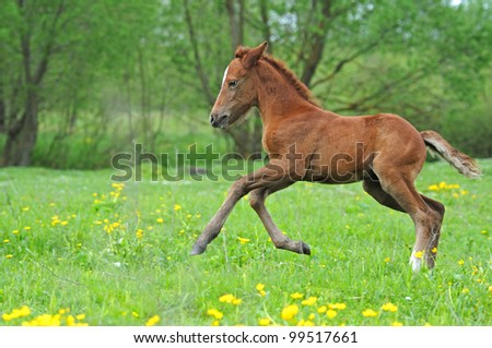 Akhal-teke mare and foal - stock photo