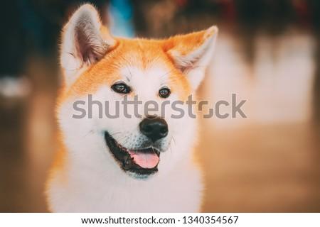 Akita Dog (Akita Inu, Japanese Akita) close up portrait on brown background #1340354567