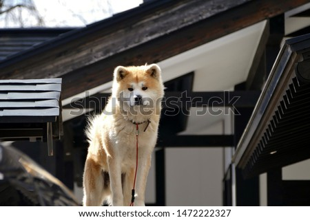 Akita Dog on a fence in the snow in Akita Prefecture Japan   #1472222327