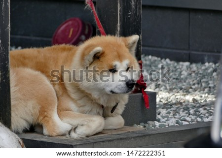 Akita Dog on a fence in the snow in Akita Prefecture Japan   #1472222351