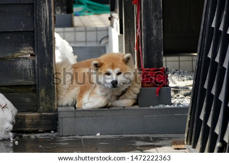 Akita Dog on a fence in the snow in Akita Prefecture Japan   #1472222363