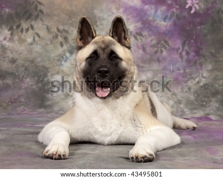 akita dog shot in studio