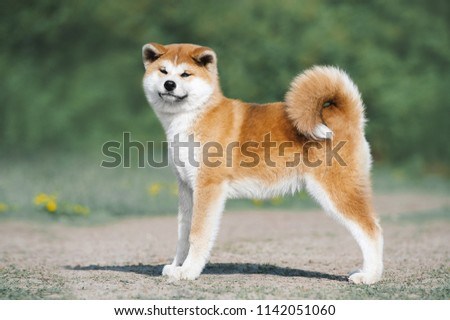 Akita Inu puppy conformation. Red furry dog on a green background #1142051060