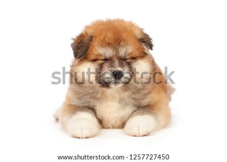 Akita Inu puppy dog on white background #1257727450