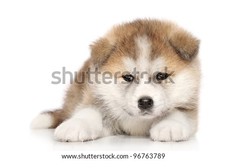 Akita-inu puppy lies over white background