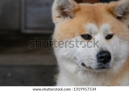 Akita Prefecture Akita dog #1319957534