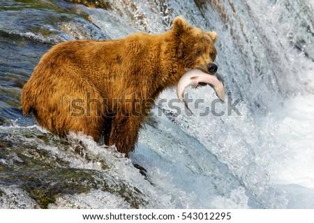 Alaska. Bears catch fish. - Shutterstock ID 543012295