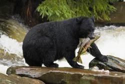 Alaska. Black bear catching food during the salmon run.