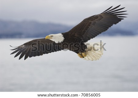 Alaskan Bald Eagle flying over water with mountains in background