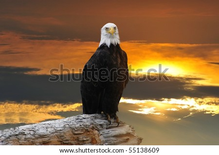 Alaskan Bald Eagle perched on log at sunset - stock photo