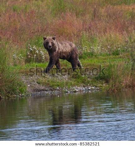 Alaskan Brown Bear at Brooks Lodge and Falls catching and eating Sockeye salmon