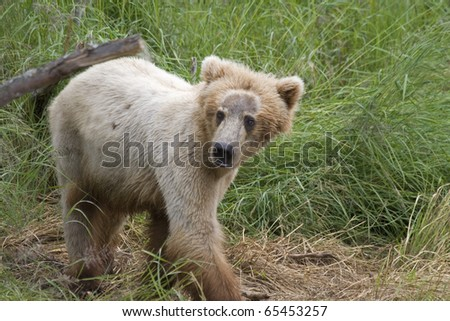 Alaskan Brown Bear cub in Katmai National Park