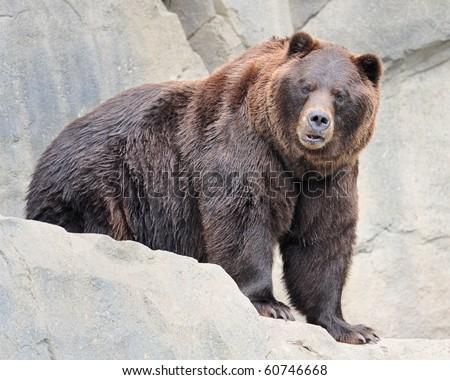 Alaskan brown bear (grizzly)