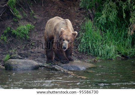 Alaskan brown bear standing along the shore in Katmai National Park - stock photo