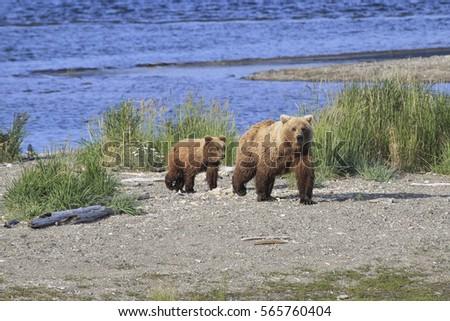 alaskan brown bear    ursus...