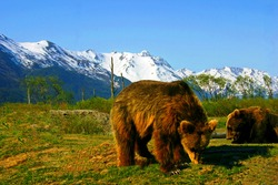 Alaskan Brown bears at the 200 acre Alaska Wildlife Conservation Center near Portage on the Anchorage Seward Highway with the snow covered Chugach Mountains seen in the background.