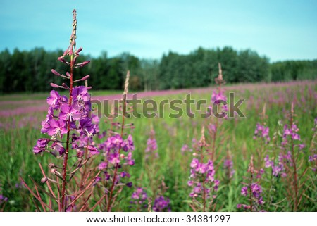 Alaskan fireweed wildflowers