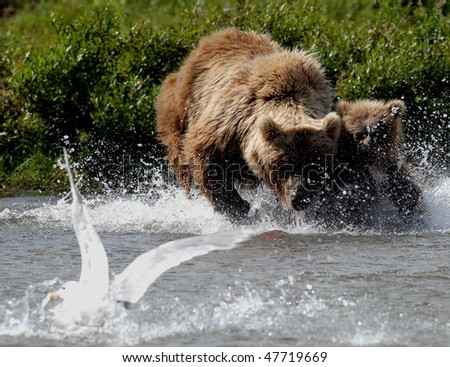 Alaskan Grizzly bear mother teaching her young cub to catch fish