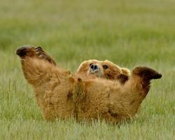 Alaskan Grizzly Bear playing
