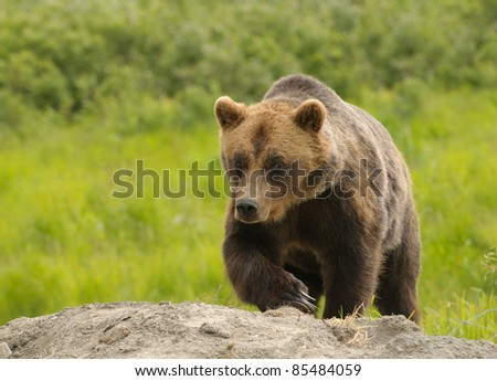 Alaskan Grizzly bear walking towards the viewer #85484059