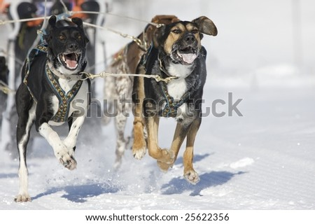 alaskan huskys running at sled dog race with wild eyes and open mouth