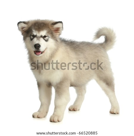 Alaskan Malamute breed puppy (3 months) on a white background