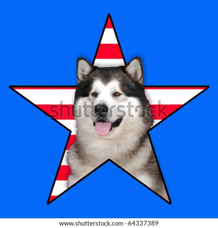 Alaskan malamute dog Portrait in a star with stripes in background