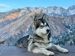 Alaskan Malamute lies on a wooden platform in the mountains. Close-up photo