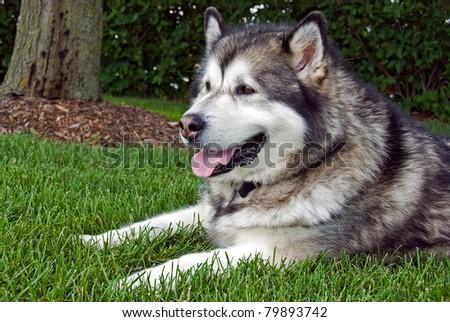 alaskan malamute lying under a shade tree