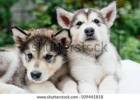 alaskan malamute puppies...