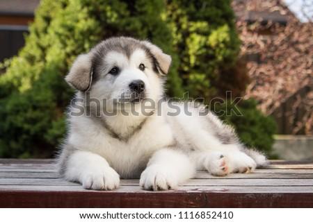 Alaskan malamute puppy posing outside. Small malamute in kennel.