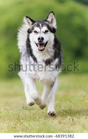 Alaskan Malamute runs happily on vacation in the spring - stock photo