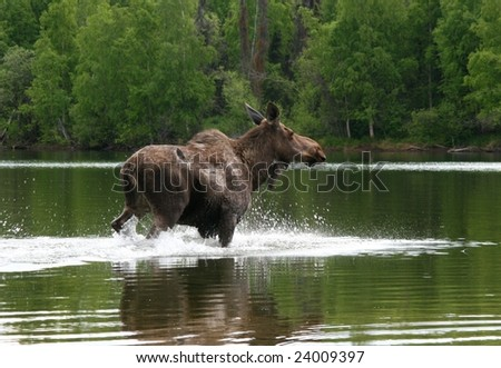 Alaskan Moose In Lake