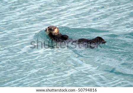 Alaskan Sea Otter swimming in Resurrection Bay, Seward Alaska