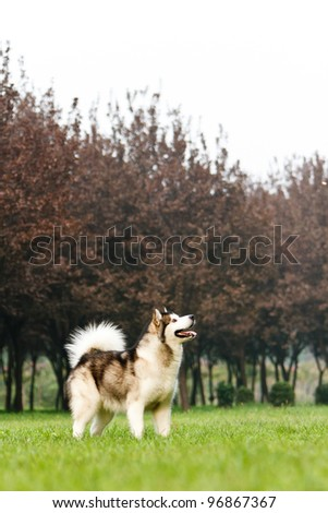 Alaskan sled dog on the grass