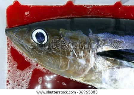 Albacore bloody tuna sport fisherman catch Mediterranean sea