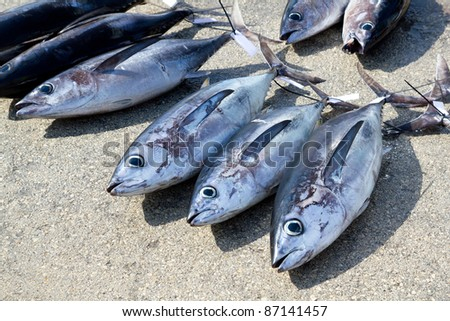Albacore tuna fish Thunnus Alalunga catch  in fishing tourney