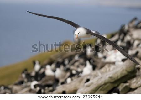 Albatross flying over colony