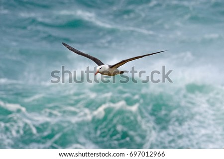 Albatross in fly with sea wave in the background. Black-browed albatross, Thalassarche melanophris, bird flight, wave of the Atlantic sea, on the Falkland Islands. Action wildlife scene from the ocean #697012966