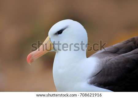 Albatross sitting on the cliff. Albatross from Falkland Island. Portrait of sea bird in the nature habitat. Beautiful sea bird Black-browed albatross. Detail of albatross. Bird portrait. White bird.  #708621916