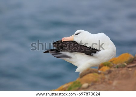 Albatross sitting on the cliff. Albatross with green grass. Albatross from Falkland Island. Sea bird albatross in the nature habitat. Beautiful sea bird. Black-browed albratross.  #697873024