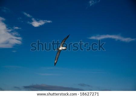 Albatross soaring across Cook Strait, near Wellington, New Zealand #18627271
