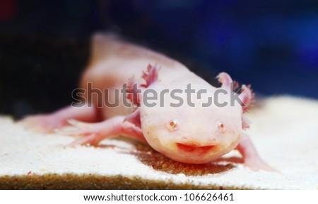 albefaction American Axoloto salamander newt