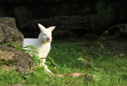 Albin Kangaroo hiding behind rock