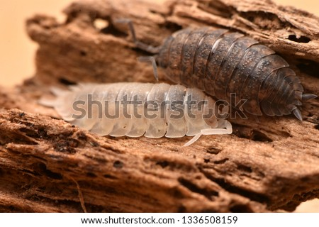 albinism common rough woodlouse - Porcellio scaber #1336508159
