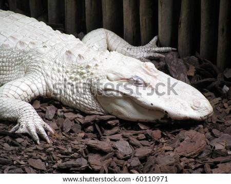 Albino Alligator - Alligator Farm St. Augustine Florida