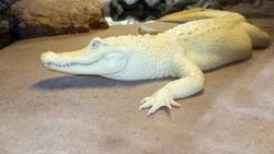 Albino Alligator or white Mississippian alligator resting next to the river rocks, North America